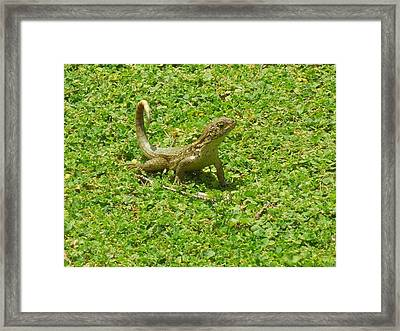 Curly-tailed Lizard Framed Print