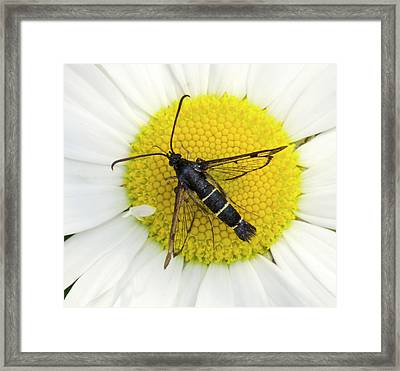 Current Clearwing Moth Framed Print by Nigel Downer