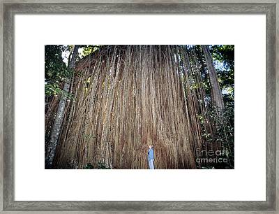 Curtain Fig, Australia Framed Print by Gregory G. Dimijian, M.D.