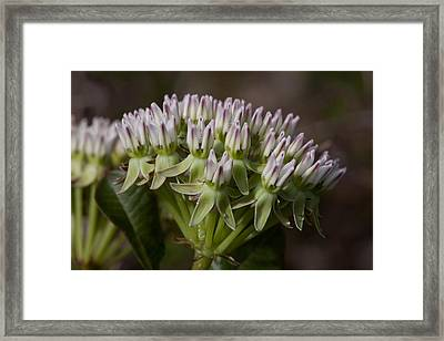 Framed Print featuring the photograph Curtiss' Milkweed #3 by Paul Rebmann