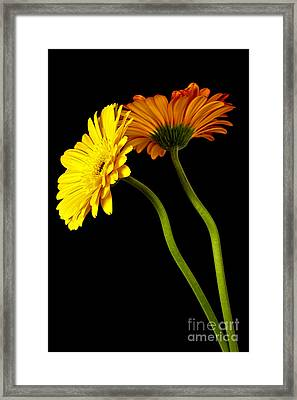 Curvaceous Daisies Framed Print