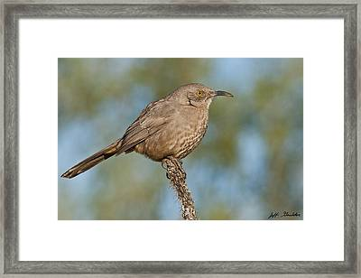 Curve-billed Thrasher Framed Print