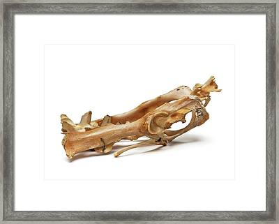 Cuscus Skull Framed Print by Ucl, Grant Museum Of Zoology