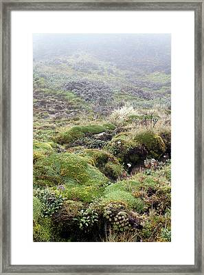 Cushion Plants On Misty Paramo Framed Print by Dr Morley Read