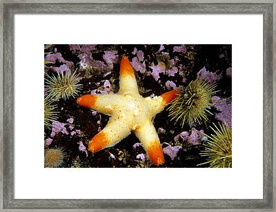 Cushion Sea Star Pteraster Militaris Framed Print by Andrew J. Martinez