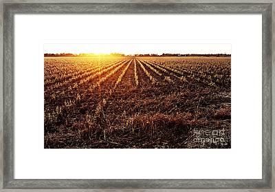 Cut Bean Field Framed Print