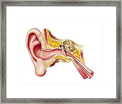 Cutaway Diagram Of Human Ear Framed Print