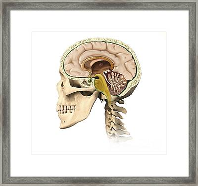 Cutaway View Of Human Skull Showing Framed Print by Leonello Calvetti