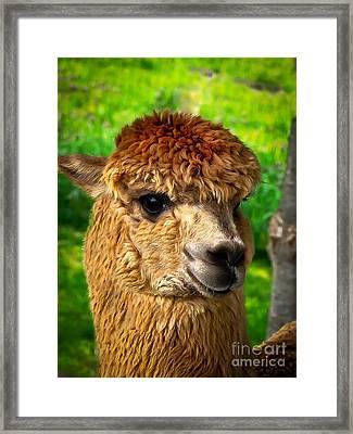 Cute Alpaca Framed Print by Robert Bales