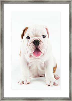 Cute Bulldog Puppy On White Background Framed Print by Peter M. Fisher