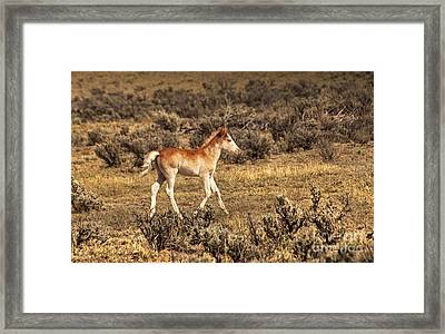 Cute Colt Wild Horse On Navajo Indian Reservation  Framed Print