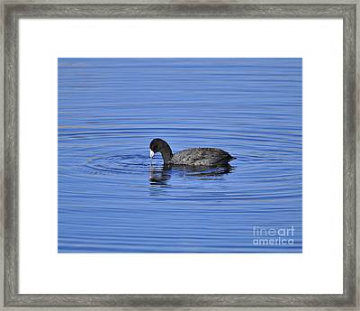 Cute Coot Framed Print by Al Powell Photography USA