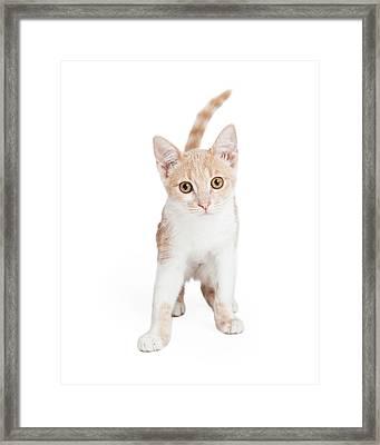 Cute Domestic Shorthair Kitten Standing  Framed Print by Susan Schmitz