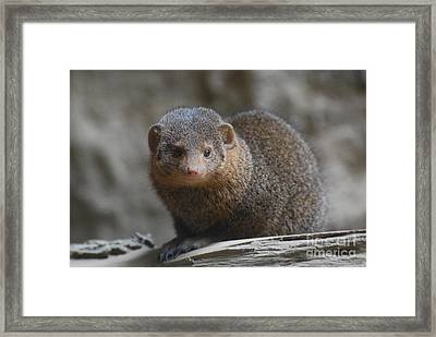 Cute Dwarf Mongoose Framed Print