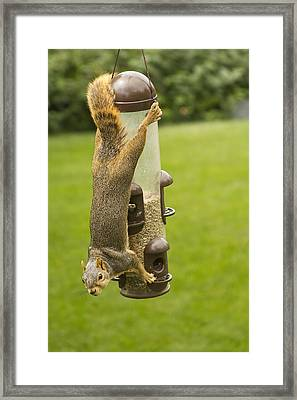 Cute Hanging Squirrel Framed Print