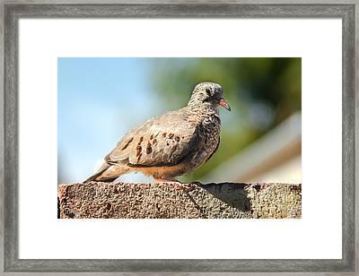 Cute Inca Dove Framed Print