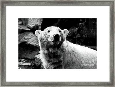 Cute Knut Framed Print by John Rizzuto