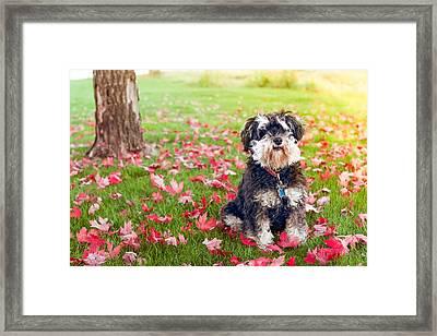Cute Mini-schnauzer Dog Framed Print by Debi Bishop