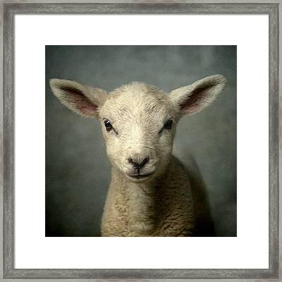 Cute New Born Lamb Framed Print by Bob Van Den Berg Photography