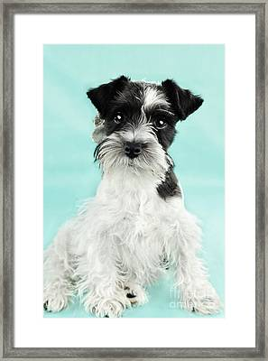 Cute Parti Color Miniature Schnauzer Framed Print by Stephanie Frey
