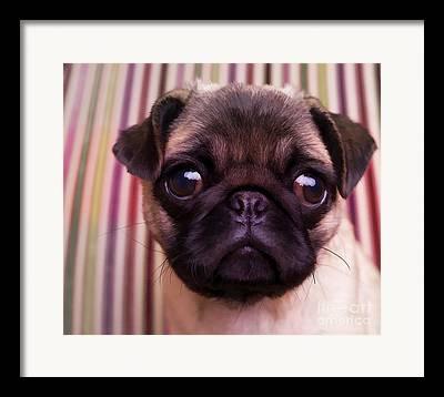 Pug Puppy Cute Dog Breed Portrait Pet Animal Toy Lap Framed Prints