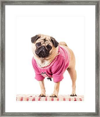 Cute Pug Wearing Sweater Framed Print by Edward Fielding