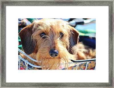 Cute Puppy Framed Print by Cynthia Guinn