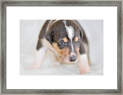 Cute Smooth Collie Puppy Framed Print by Martin Capek