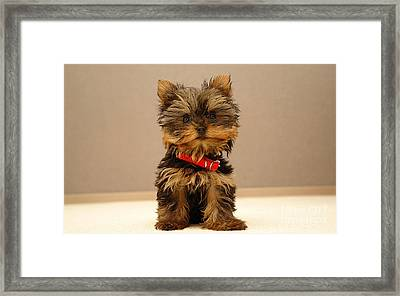 Cute Terrier Puppy Framed Print