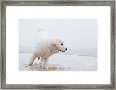 Cute White Dog Playing On The Beach Framed Print