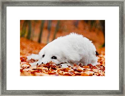 Cute White Puppy Dog Lying In Leaves In Autumn Forest Framed Print