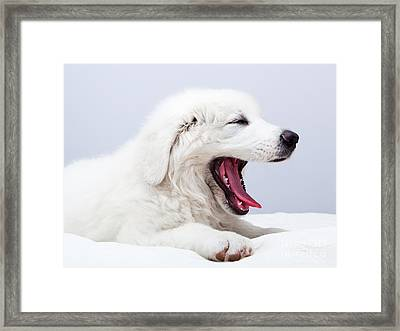Cute White Puppy Dog Lying On Bed And Yawning Framed Print