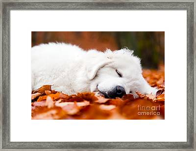 Cute White Puppy Dog Sleeping In Leaves In Autumn Forest Framed Print