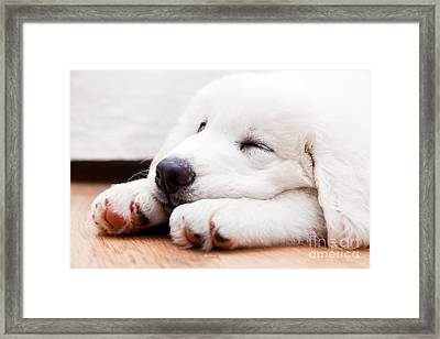 Cute White Puppy Dog Sleeping On Wooden Floor Framed Print