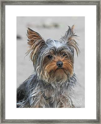 Cute Yorky Portrait Framed Print by Jivko Nakev