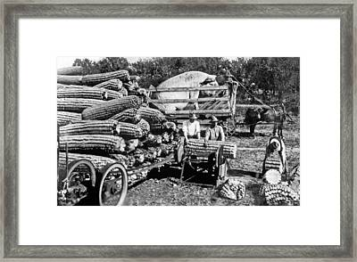 Cutting Giant Ears Of Corn Framed Print by Underwood Archives