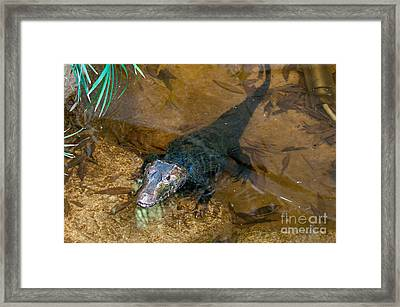 Cuviers Dwarf Caiman Framed Print by Mark Newman