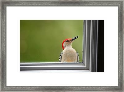Cw My Crazy Woodpecker Framed Print by Karol Livote