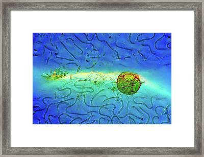 Cyanobacteria And Amoeba Framed Print by Marek Mis