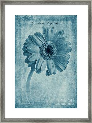 Cyanotype Gerbera Hybrida With Textures Framed Print by John Edwards