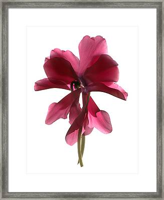 Cyclamen Dance Framed Print