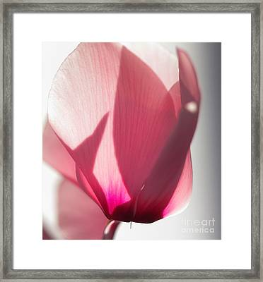 Cyclamen Framed Print by Rebeka Dove