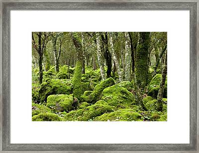 Cyclamen Repandum In Flower In A Woodland Framed Print