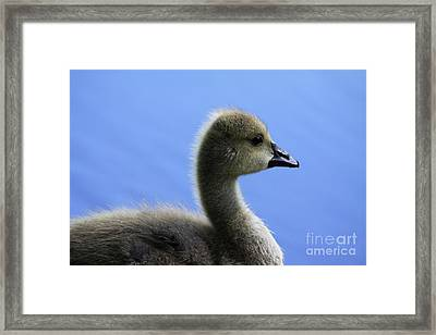 Framed Print featuring the photograph Cygnet by Alyce Taylor