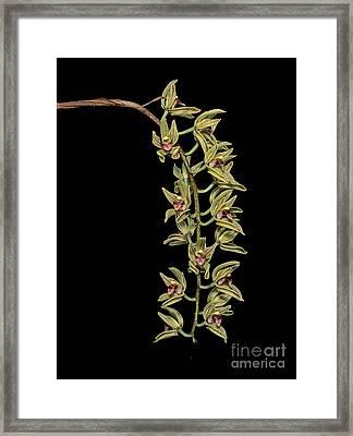 Cymbidium Devonianum Framed Print by Geoff Kidd