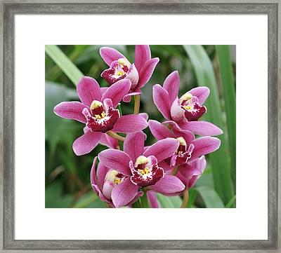 Cymbidium Orchid (cymbidium 'darfield') Framed Print by Neil Joy