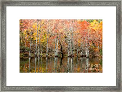 Cypress Forest In Fall Framed Print by Iris Greenwell
