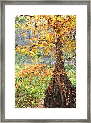 Cypress In Autumn Framed Print