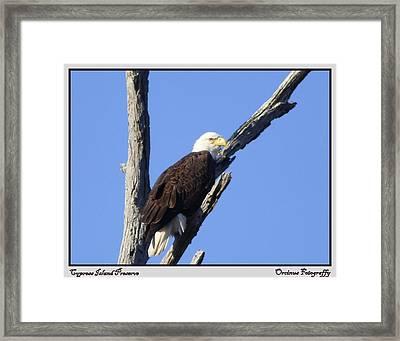 Cypress Island Eagle Framed Print