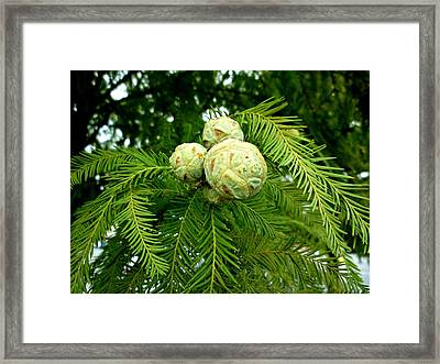 Cypress Framed Print by Pete Trenholm